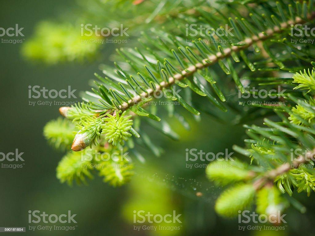 Green lush spruce branch stock photo