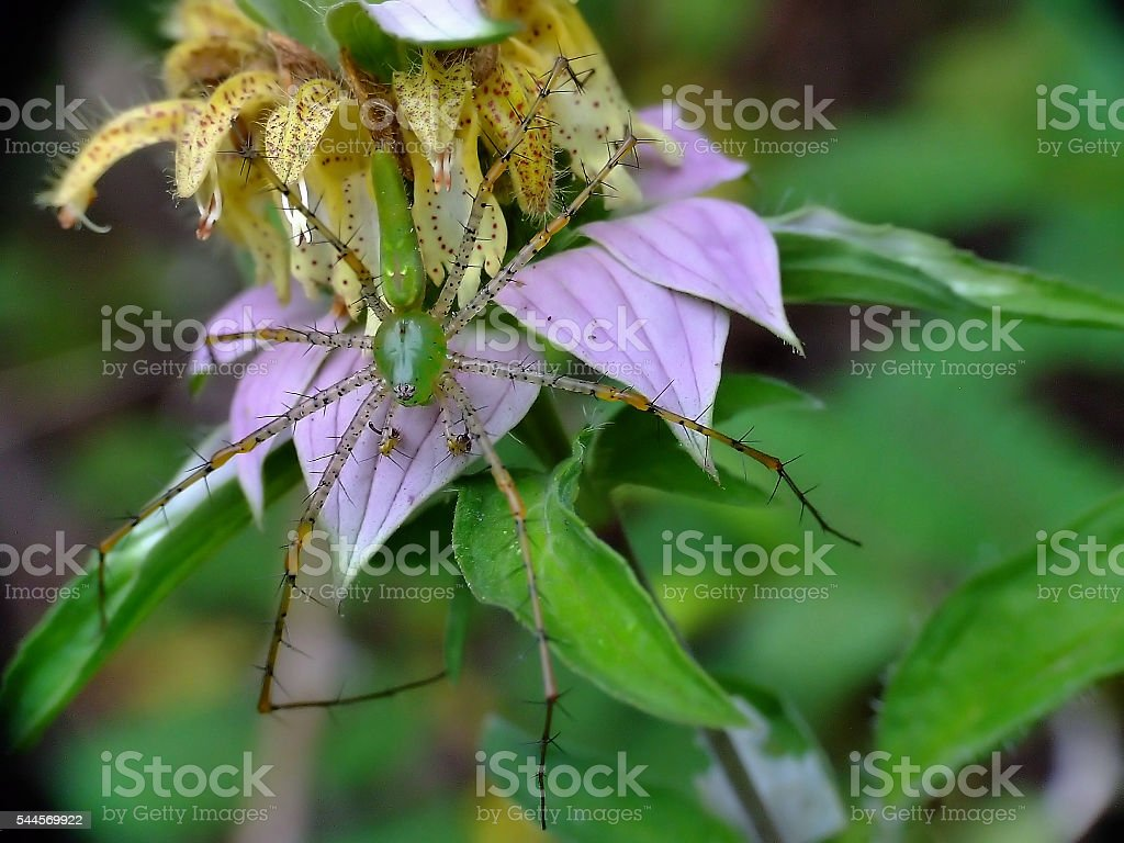 Green Lynx Spider on Horsemint Plant stock photo