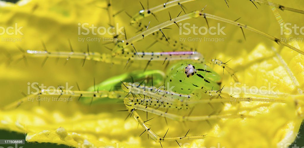 Green Lynx Spider, Peucetia viridans stock photo
