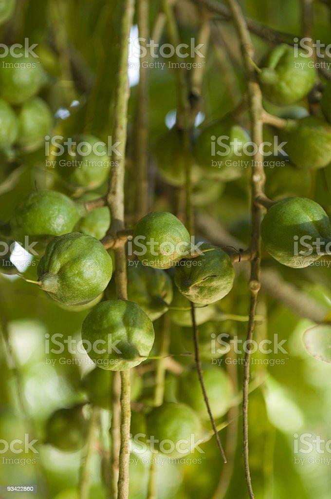 Green Macadamia Nuts stock photo