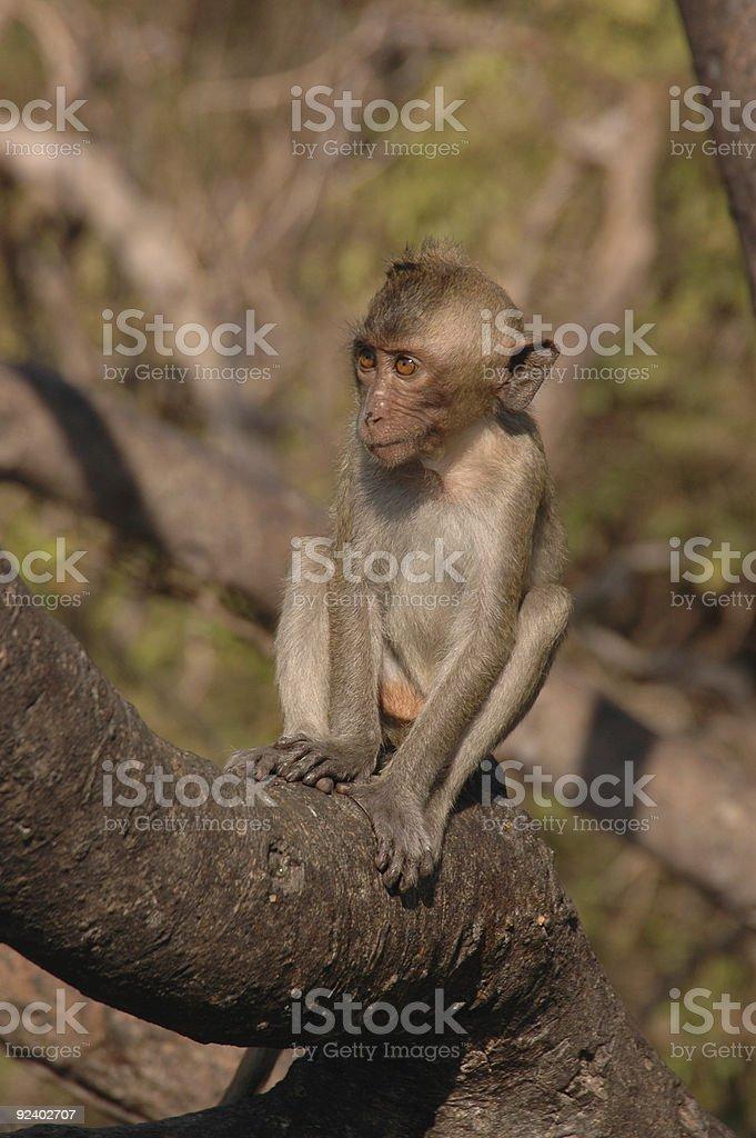 Green macaque. Thailand. royalty-free stock photo