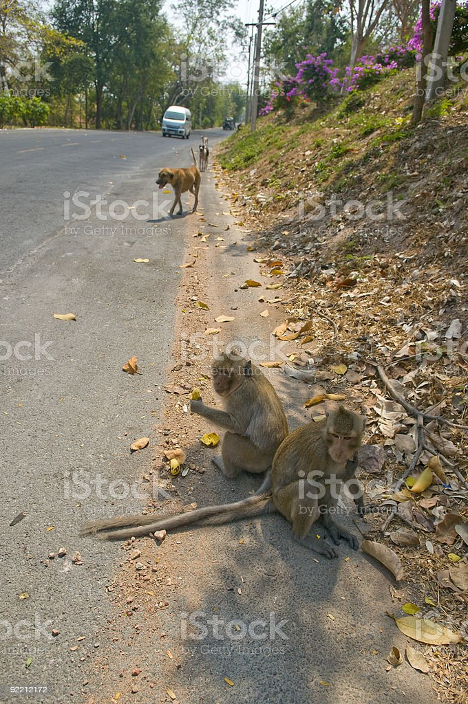 Green macaques. Thailand. royalty-free stock photo