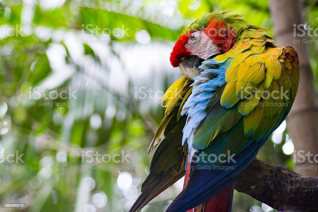 Green Macaw stock photo