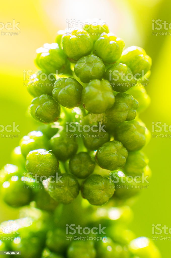 green macro grape grow small bokeh yellow verticall stock photo