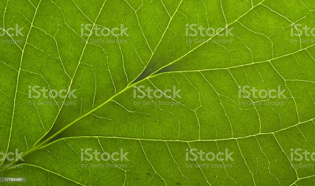 green macro leaf royalty-free stock photo