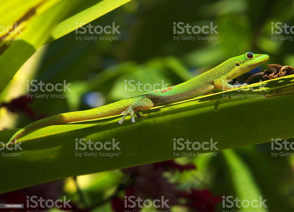green madagascar gecko royalty-free stock photo