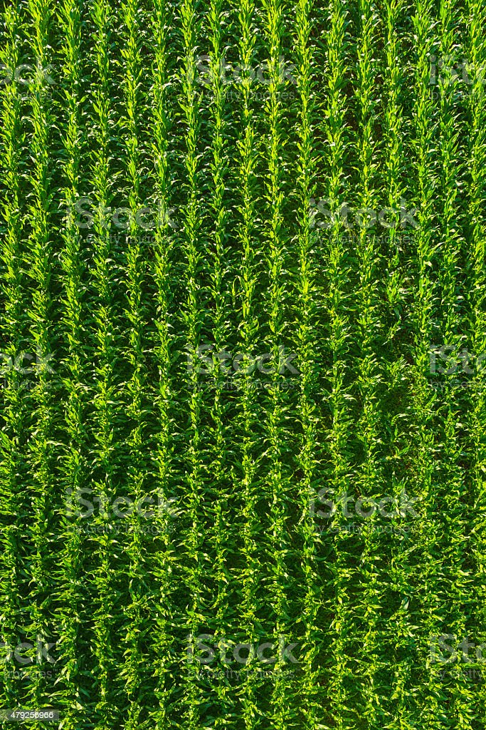 Green maize corn farm crop rows aerial view agriculture background stock photo