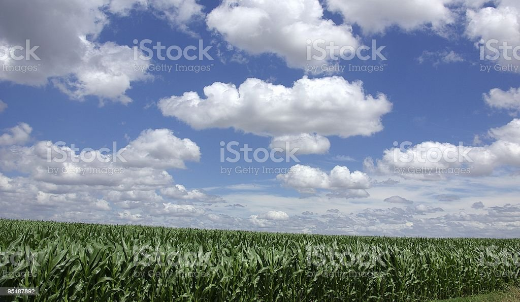 green maize in Portugal royalty-free stock photo