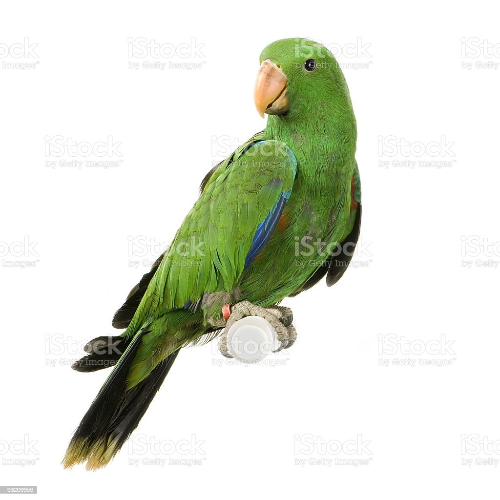 A green male Eclectus Parrot sitting on a perch stock photo