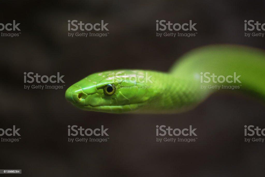 Green Mamba close up portrait stock photo