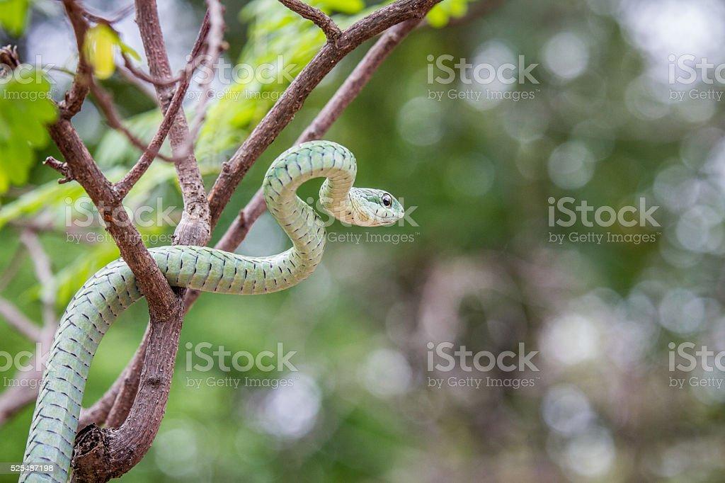Green mamba in a tree. stock photo