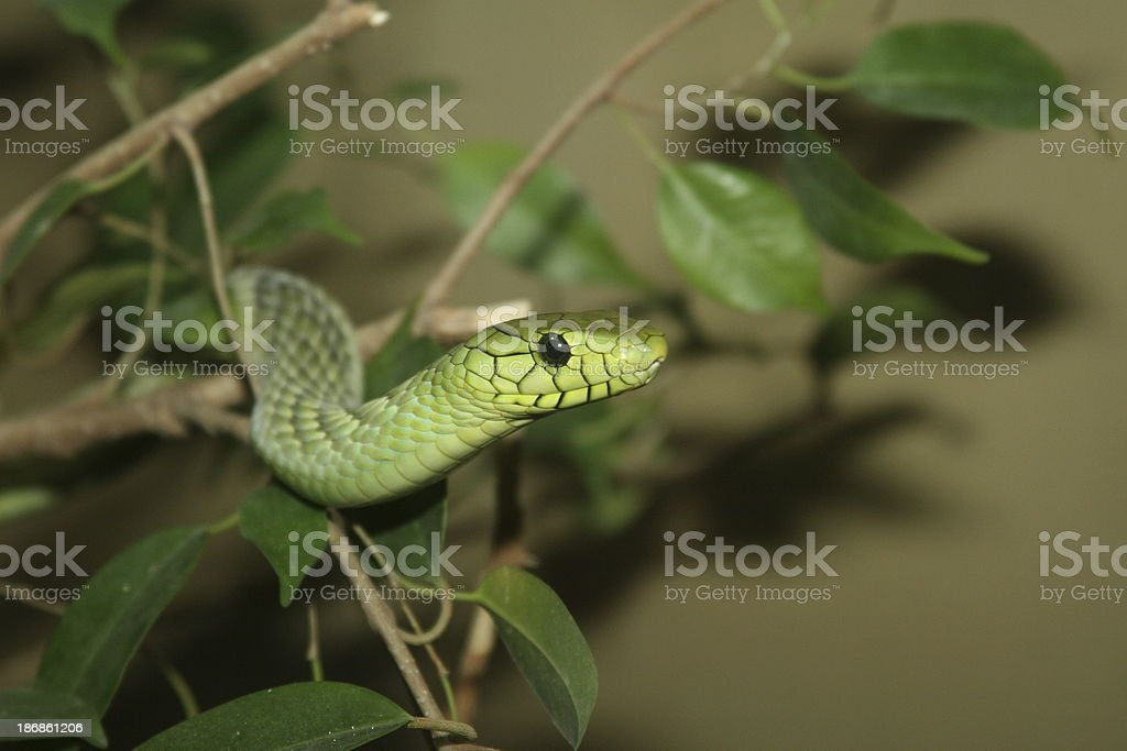 Green Mamba royalty-free stock photo
