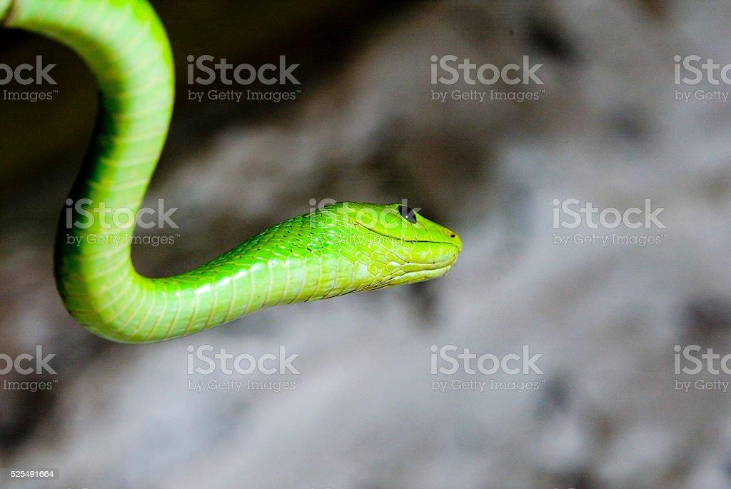 Green Mamba (Underneath) stock photo