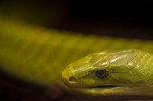 Green mamba snake - Dendroaspis angusticeps