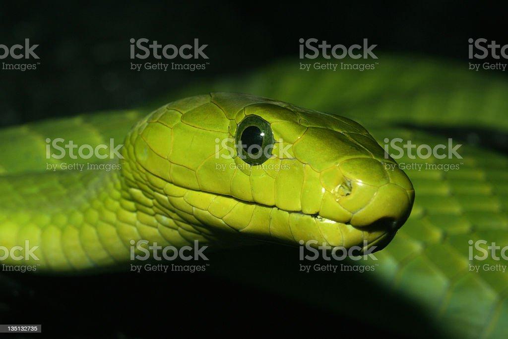 Green Mamba Snake stock photo