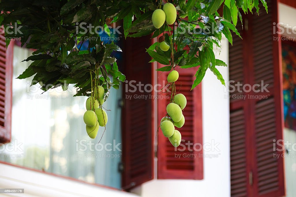 Green mango fruit is growing on a tree stock photo