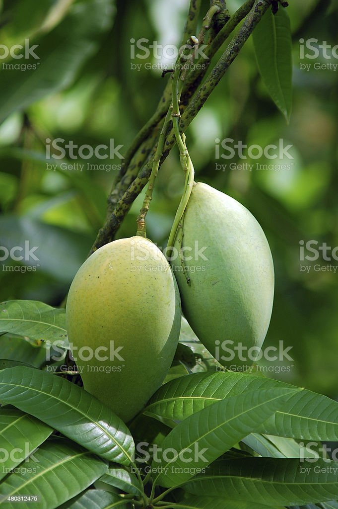 Green Mango on the tree in garden, southern Vietnam stock photo