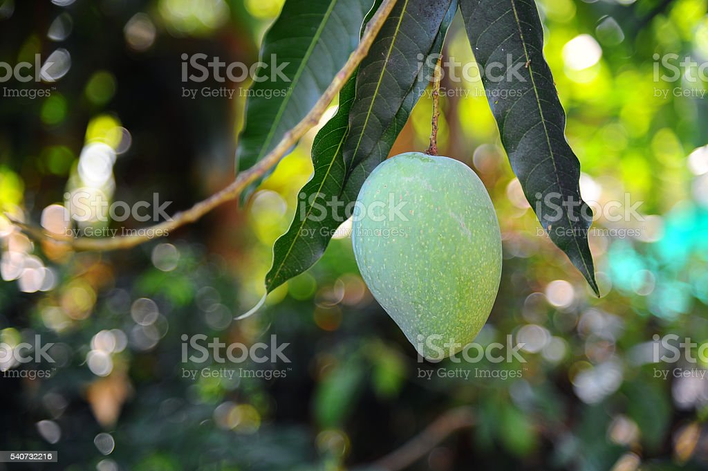 Green mangoes hanging from the tree in garden stock photo