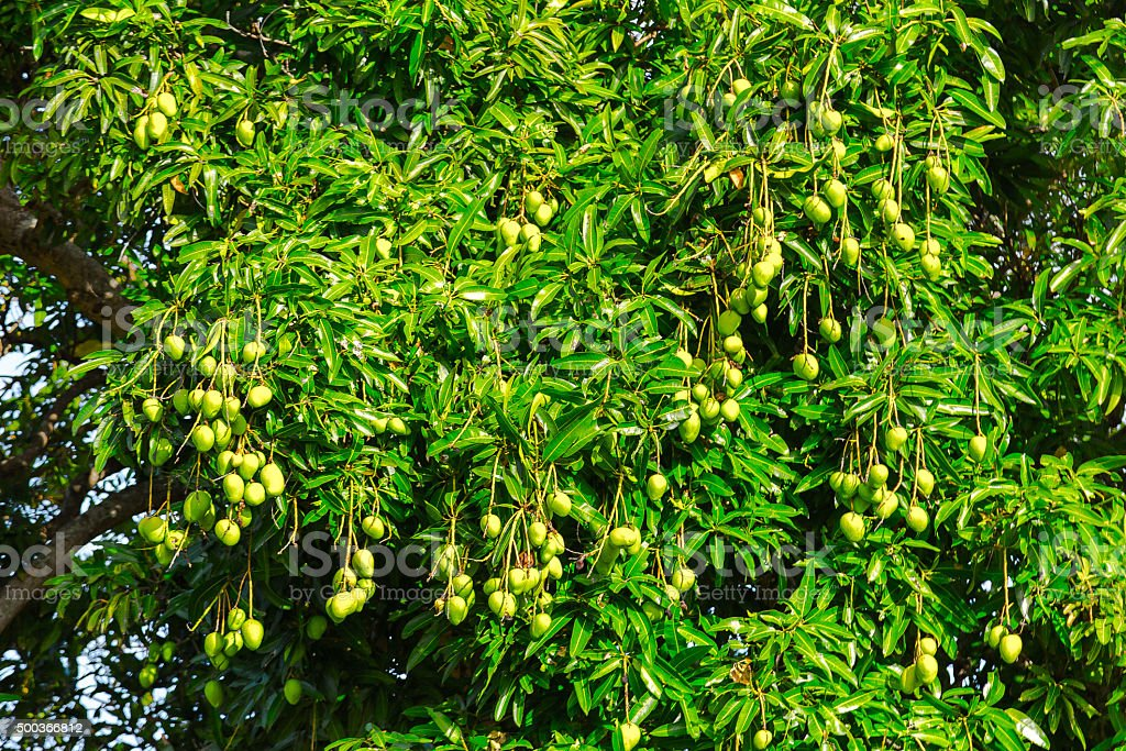 Green Mangos on Tree stock photo