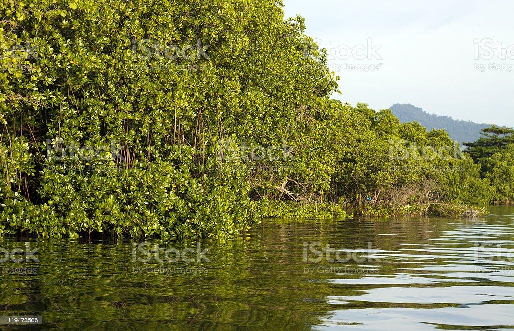 Green mangrove habitat stock photo