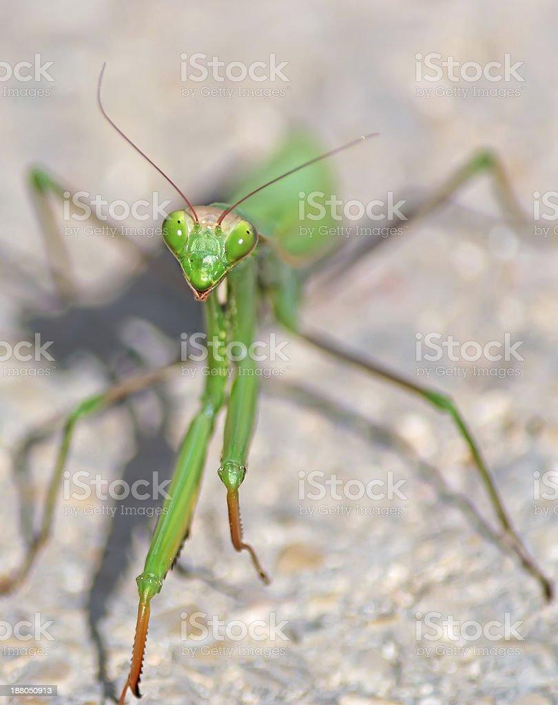 green mantis face royalty-free stock photo