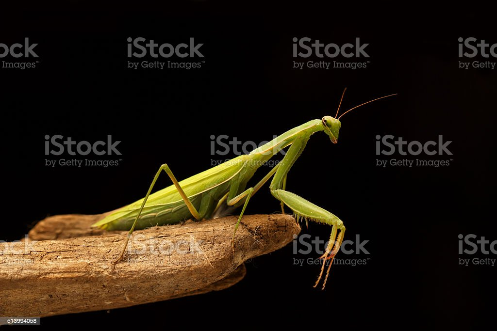 green mantis on the branch on black background stock photo