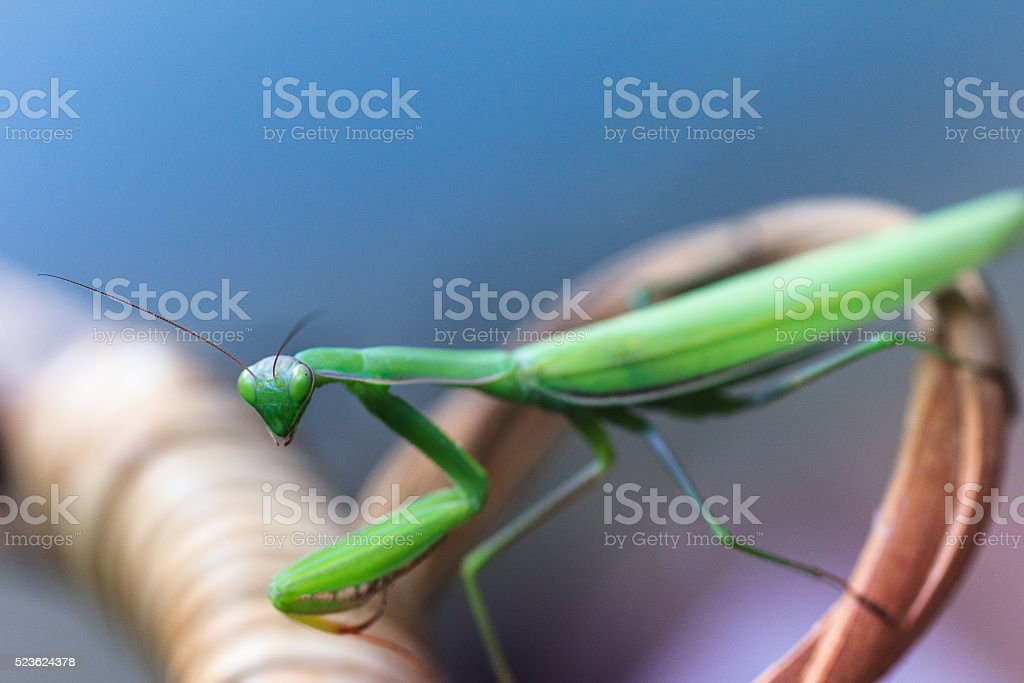 Green mantis religiosa close-up on a branch  bush stock photo
