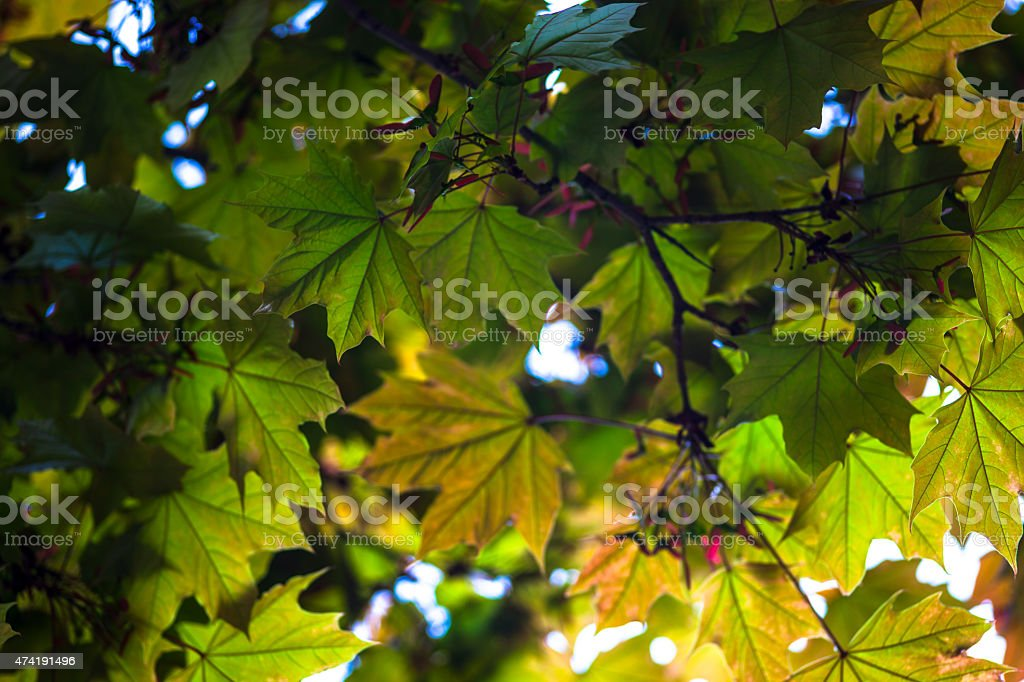Green maple branches with young pink fruit called samaras stock photo