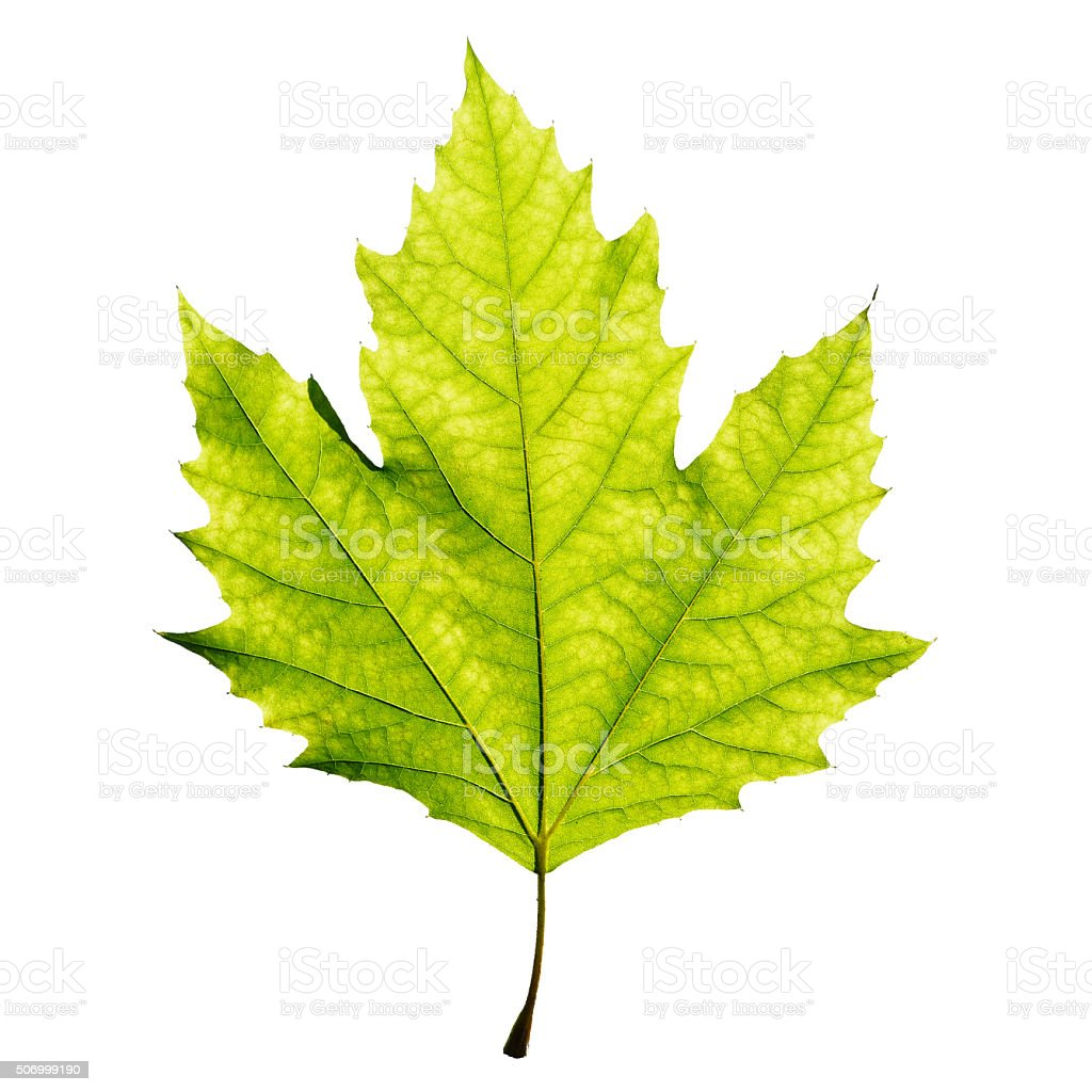 Green maple leaf against white stock photo