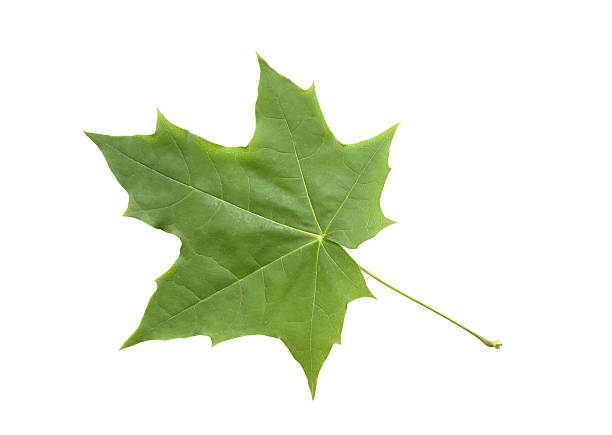 maple leaf green maple leaf pictures images and stock photos istock