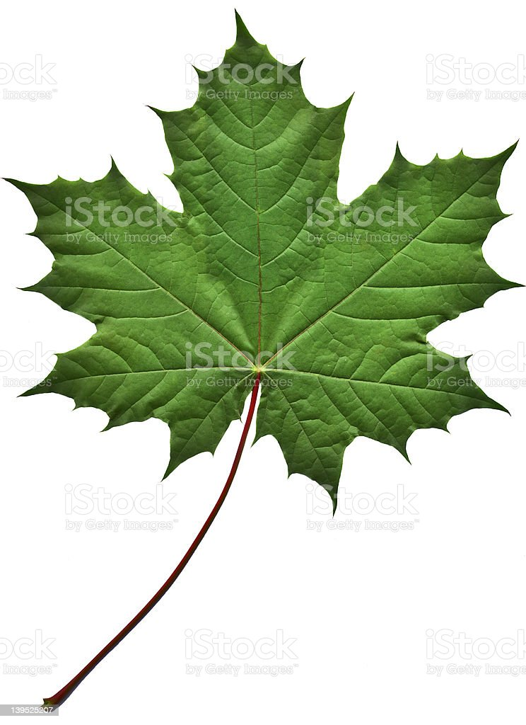 Zielony Liść klonu zbiór zdjęć royalty-free