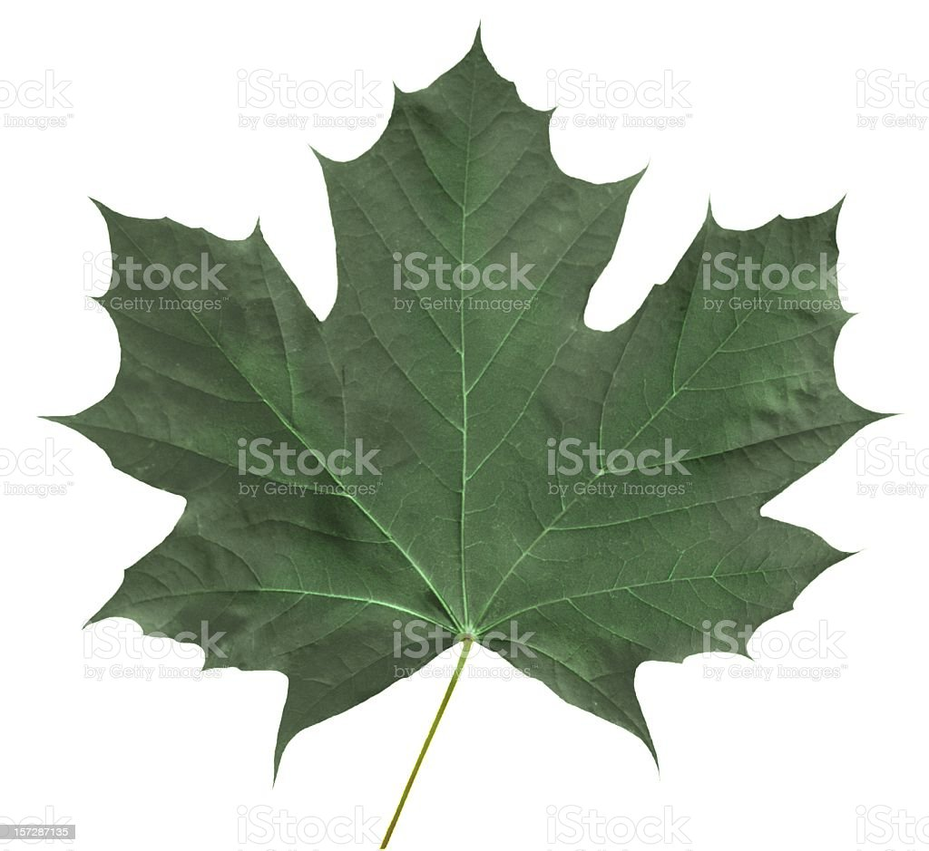 Green Maple Leaf royalty-free stock photo