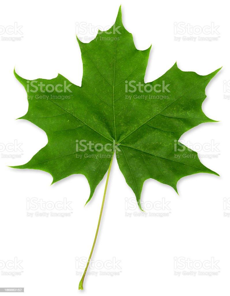 Green Maple Leaf XXXL royalty-free stock photo