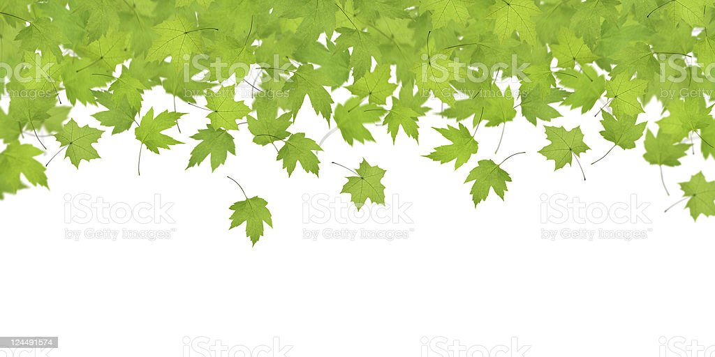 Green Maple Leaves Panorama royalty-free stock photo