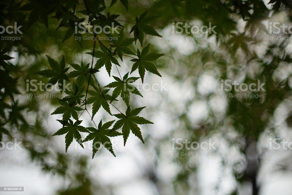 Feuilles d'érable vertes  photo libre de droits