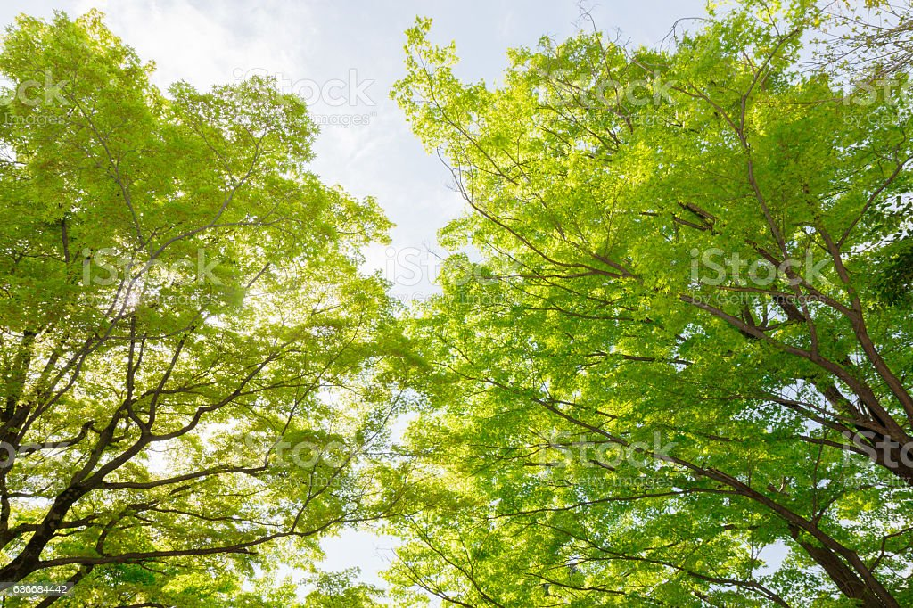 green maple tree in forest natural background. stock photo