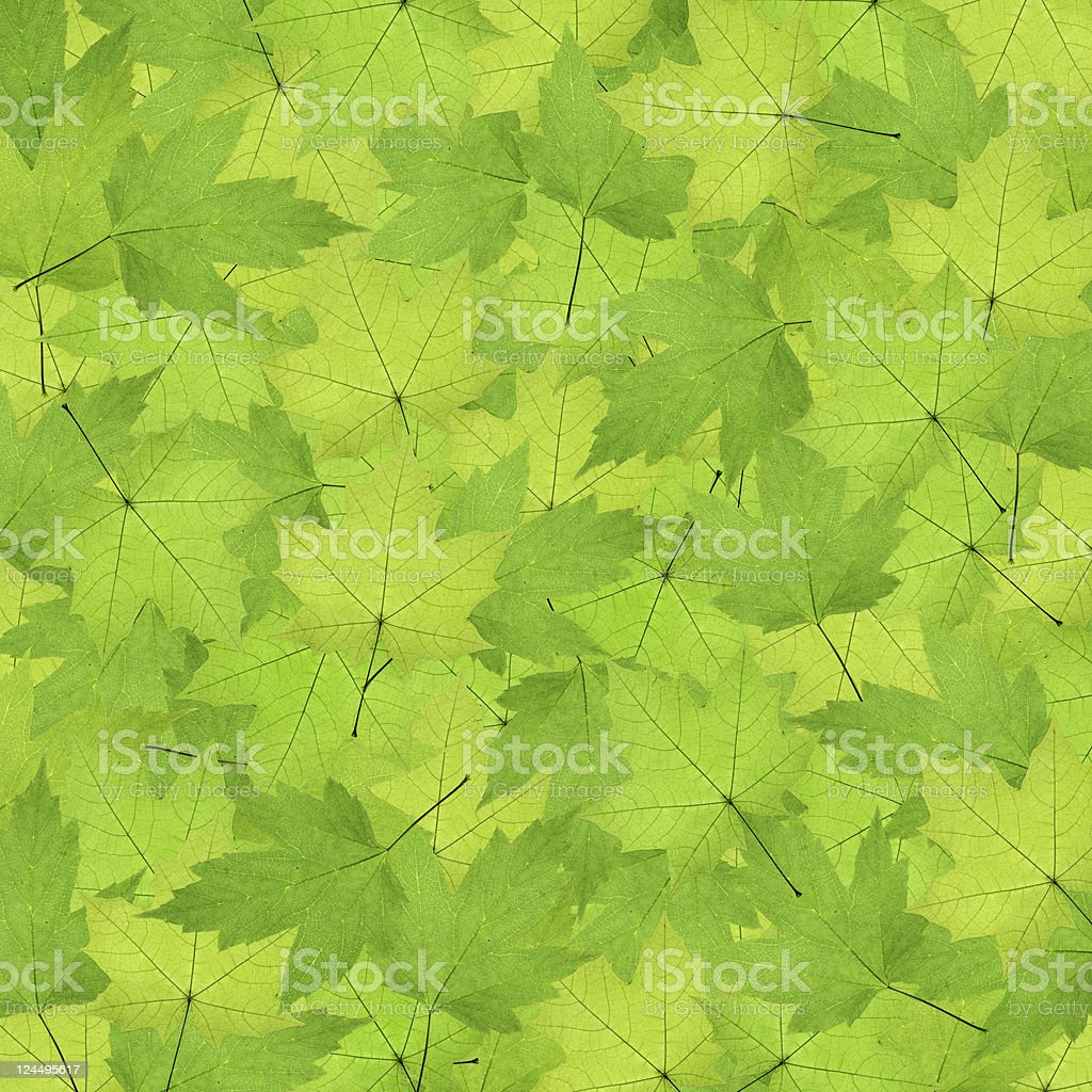 Green Maple Wallpaper royalty-free stock photo