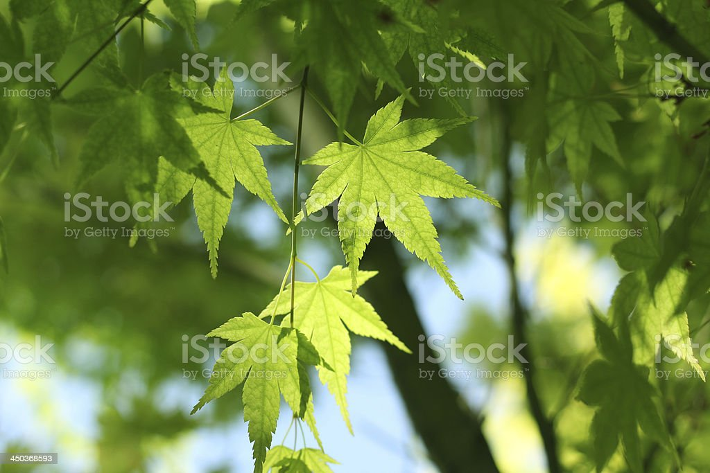 Green mapleleaves, close up royalty-free stock photo