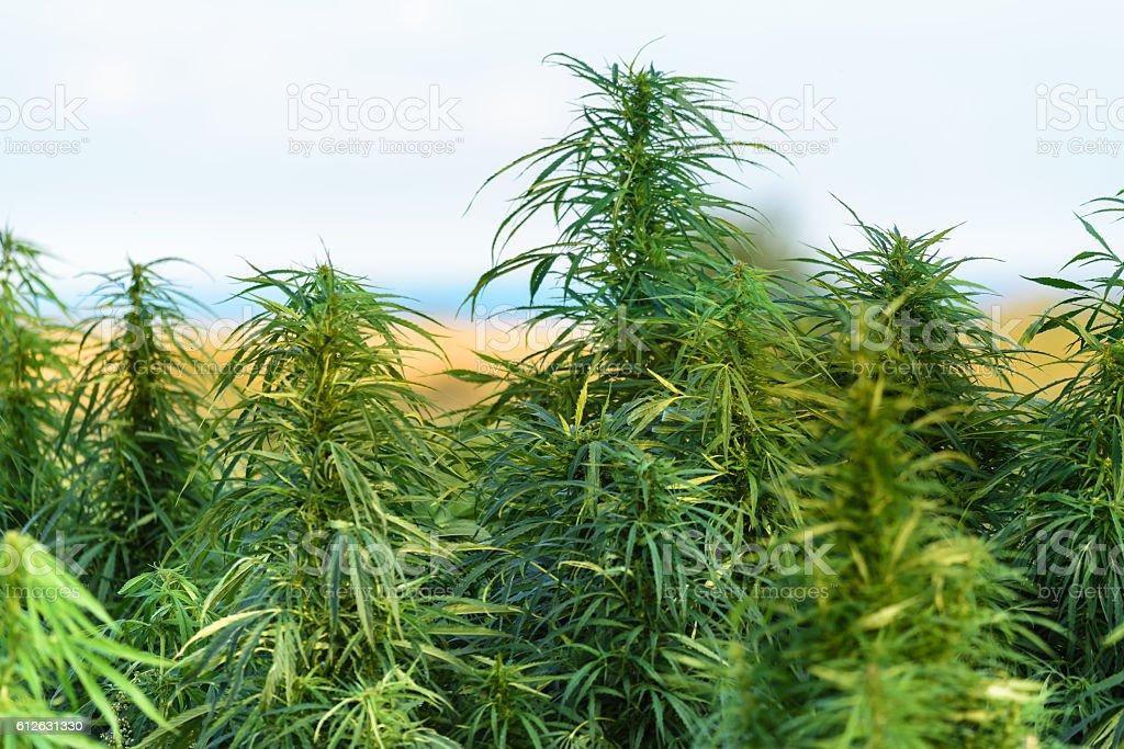 Green marijuana on field stock photo