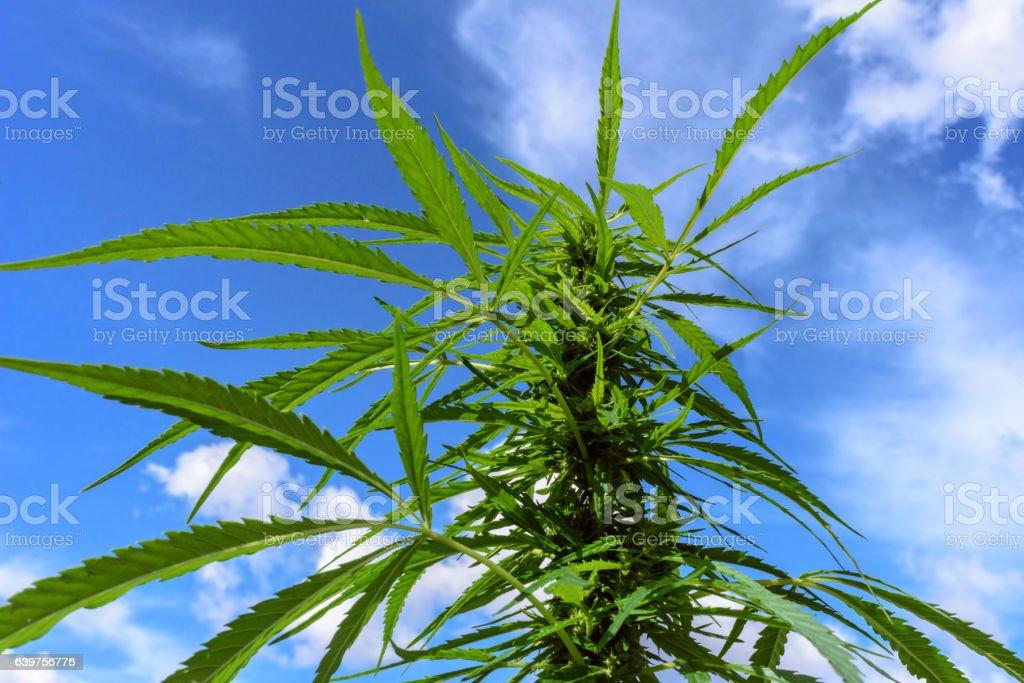 Green marijuana plant stock photo