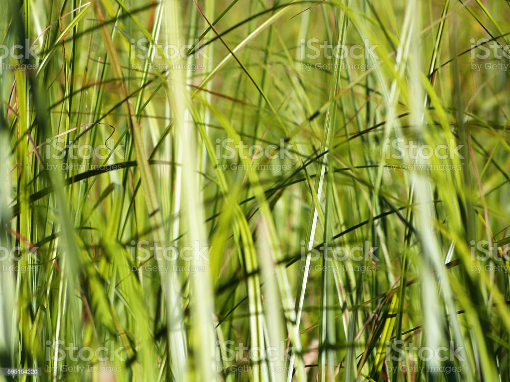 Green Marsh Grass Reeds Abstract Tranquil Multi Colored Background stock photo