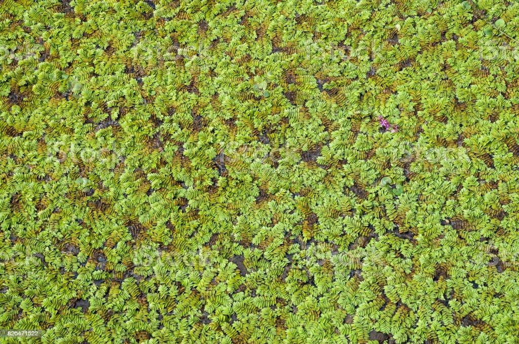 Green marsh vegetation closeup  in swamp stock photo
