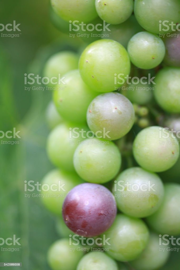 Green maturing grapes, one purple stock photo