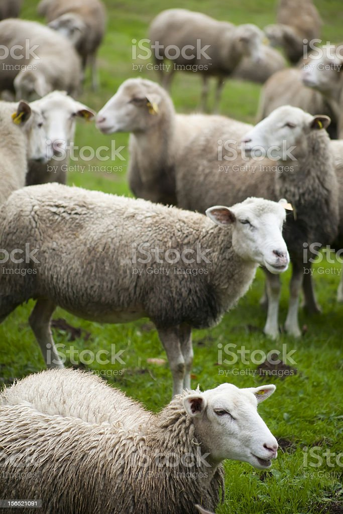 Green meadow and sheep royalty-free stock photo