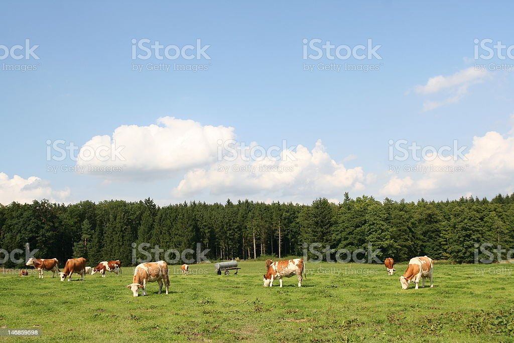 Green meadow with cows royalty-free stock photo