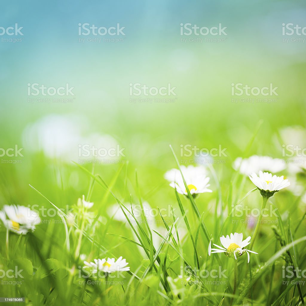 Green meadow with daisies stock photo