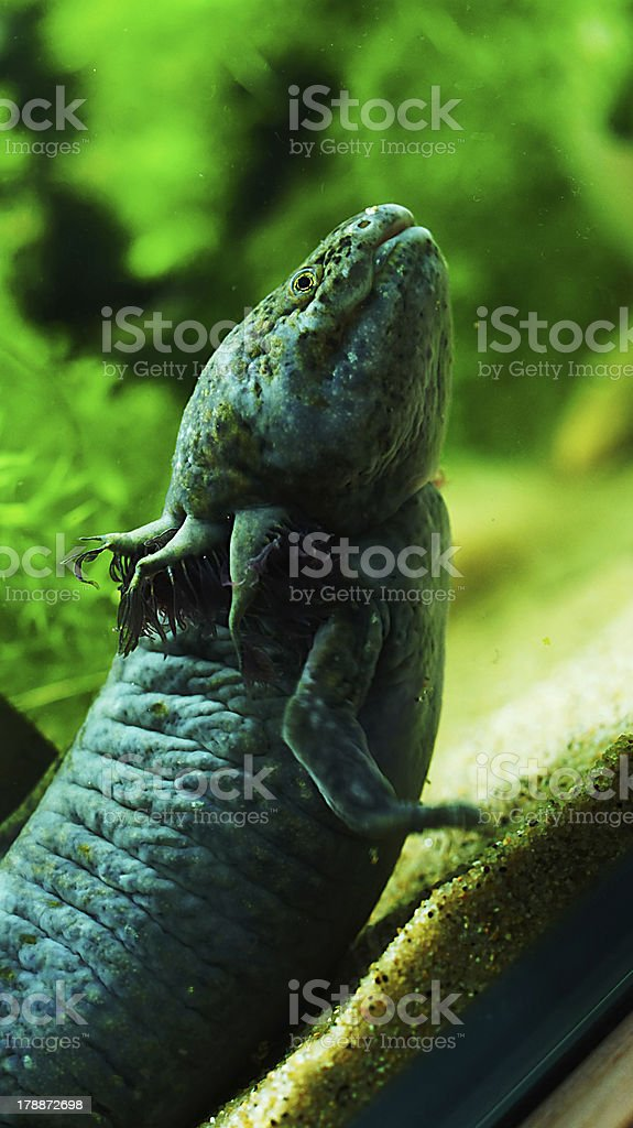 green Mexico salamander stock photo