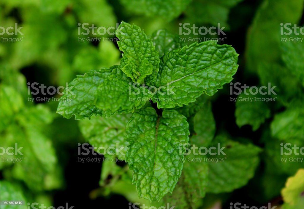 Green mint leaves close up stock photo
