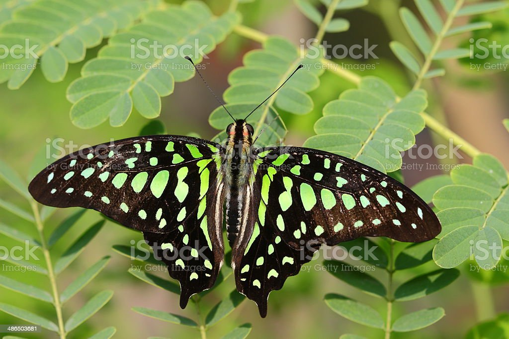 green Monarch butterfly on leaf stock photo