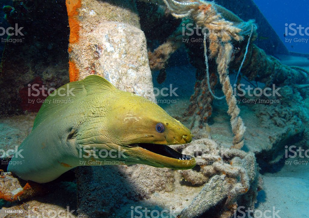 Green Moray Eel royalty-free stock photo